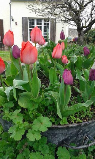 au bellefleur tulips
