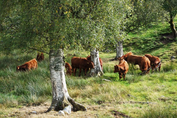 vaches-cairn-Ecosse-Corrimony