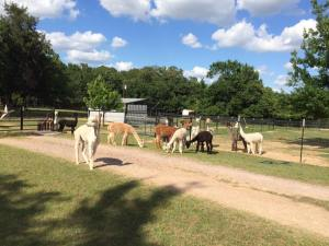 Advantages of Alpacas — More per acre than cows/horses