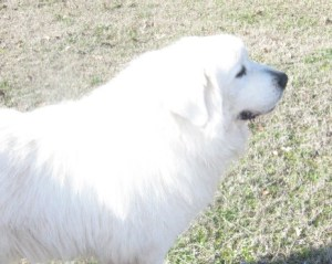 About Us — Great Pyrnees Dog