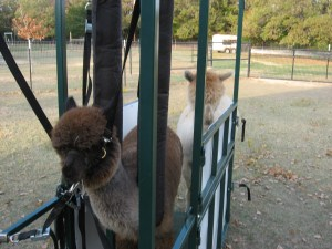 NEWS – Cady in our Alpaca chute, 2013