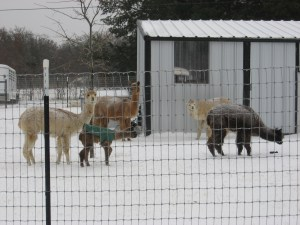 About Us — Alpacas in Snow