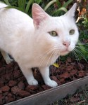 FLOCON, SUBLIME CHAT BLANC À ADOPTER