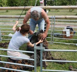 adrian and nicole shearing sheep