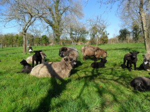 sheep and lambs relax in orchard