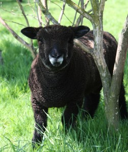 coloured ryeland ram lamb