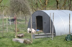 pigs in small pen