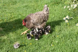 Mrs Mills and chicks