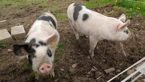 two piggies