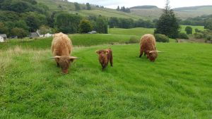 highland cows bluebell ivor and texa