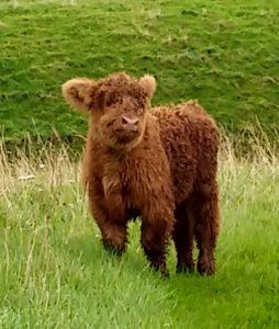 ivor the highland coo