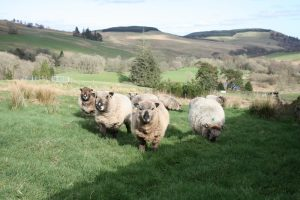 coloured ryeland sheep