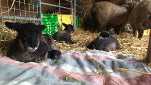 lambs making themselves comfortable