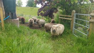 sheep in - awaiting shearing