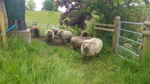 sheep in - awaiting shearing
