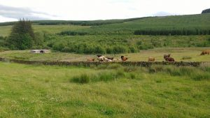 cows back at auchenstroan