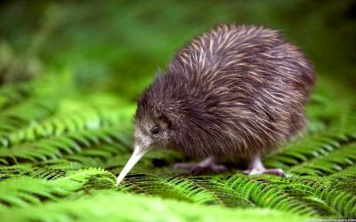 Kiwi Bird Spotting in the North Island of New Zealand
