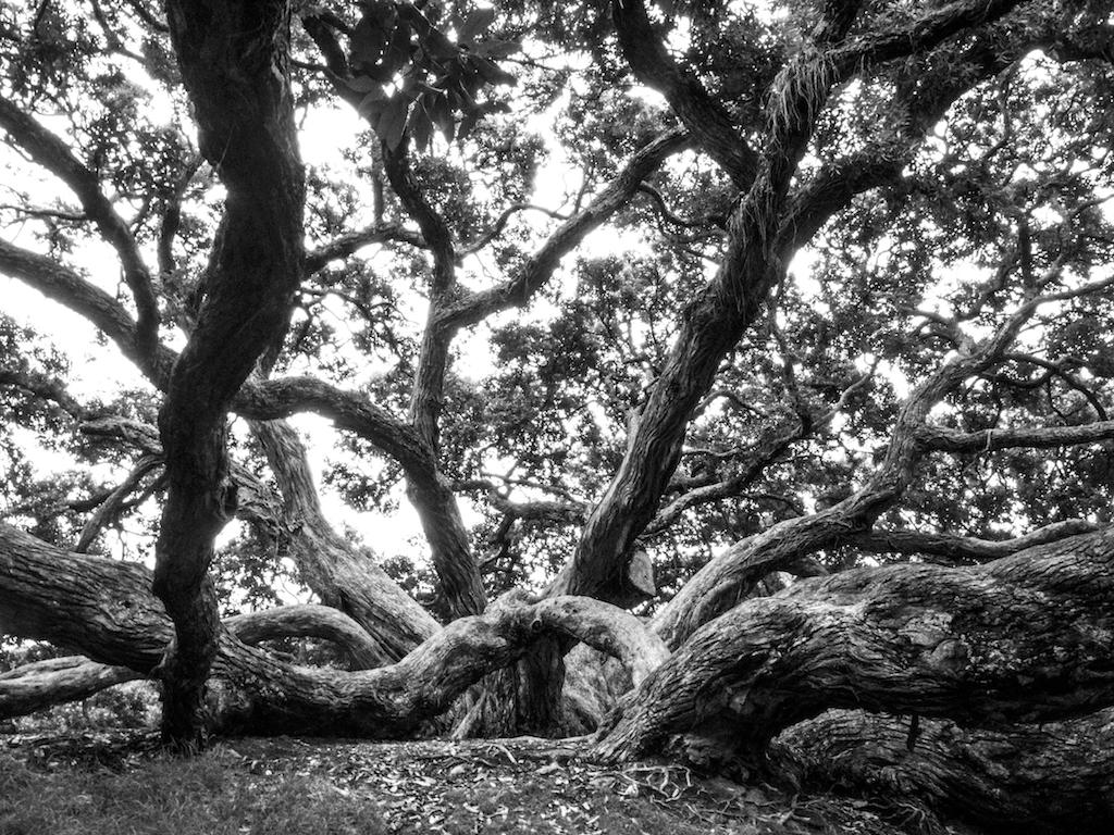 Dove Myer Robinson Park Tree
