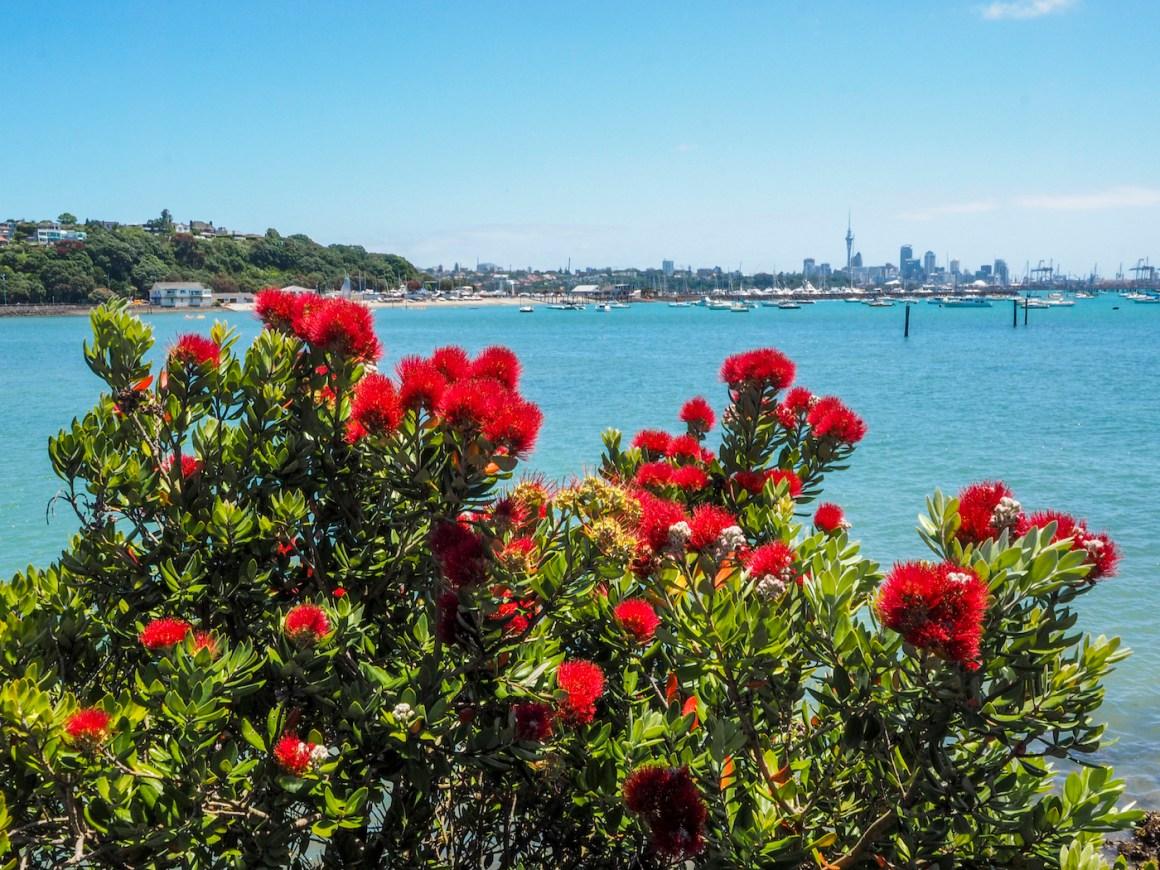 Okahu Bay Pohutukawa - Street Photography Auckland