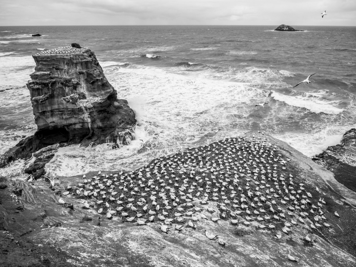 Image showing the nests of the Gannets at the Muriwai Gannet colony.
