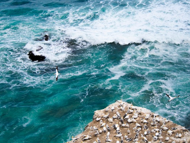 Summer at Muriwai Gannet Colony - Auckland New Zealand