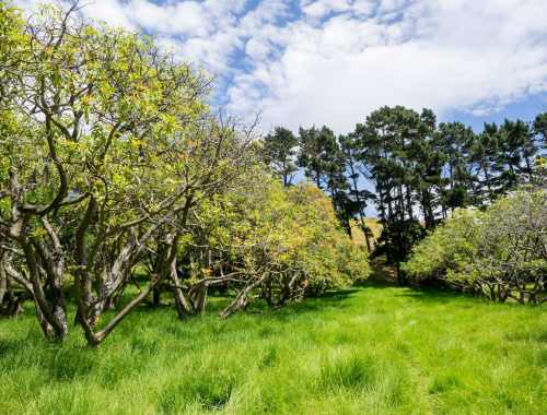 Auckland Public Avocado Orchard Tree Rows