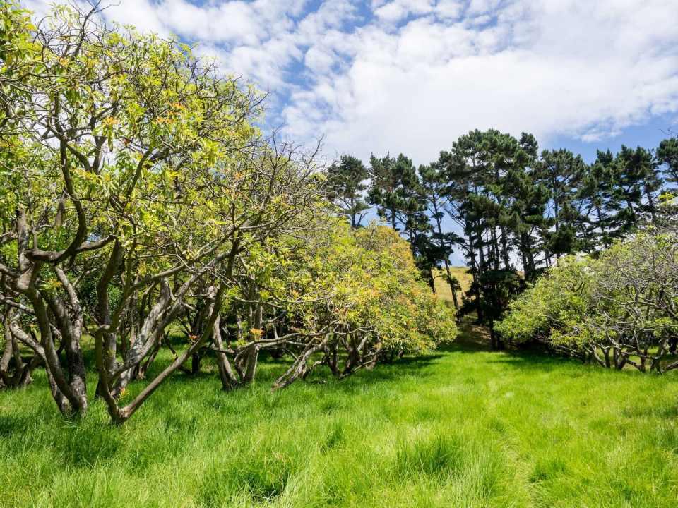 Auckland Public Avocado Orchard Tree Rows