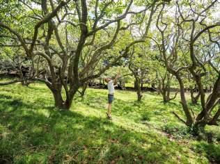 Avocado Trees at Aucklands Avocado Orchard - Otuataua Stonefields
