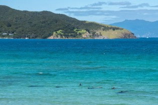 Dolphins at Puriri Bay in Tryphena on Great Barrier Island, Aotea
