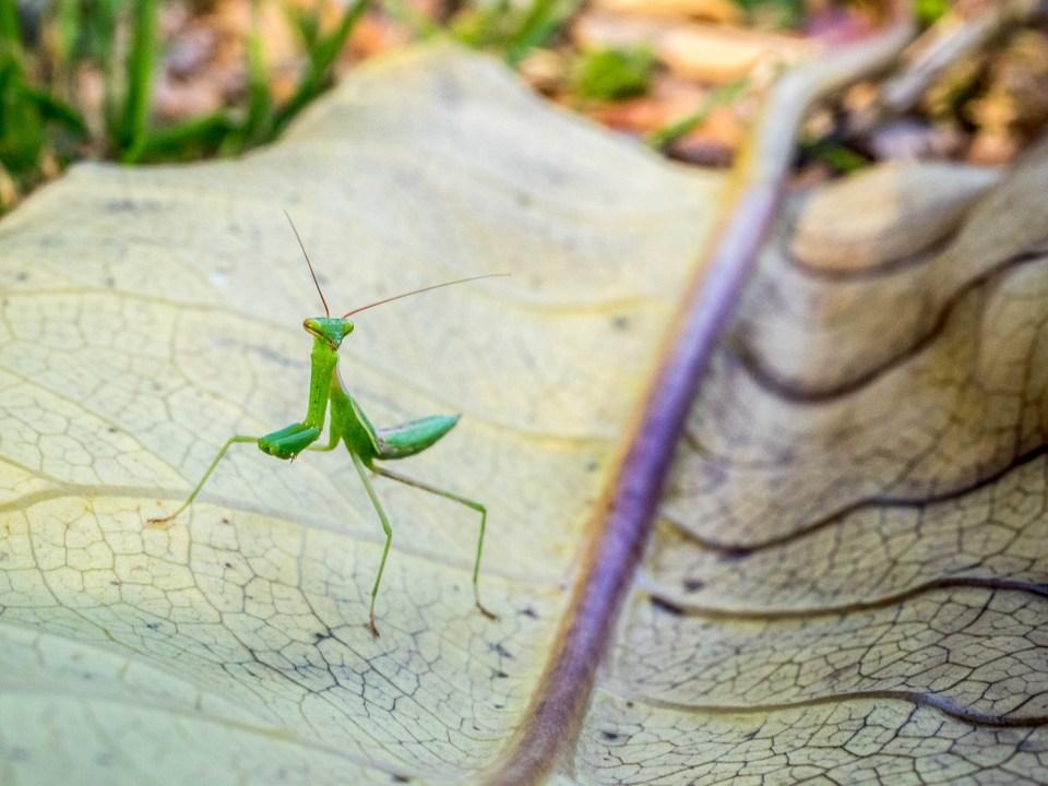 New Zealand Praying Mantis