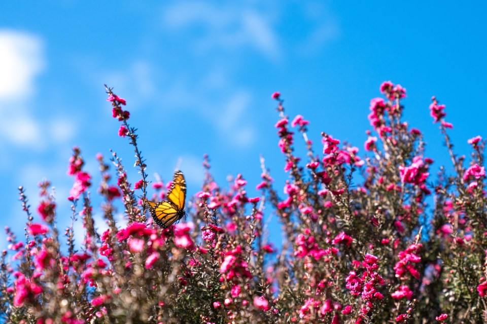 Spring Butterfly Flying over Flowers, Papakura Auckland Street Photography