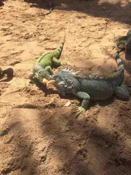 Iguanas at Pinel