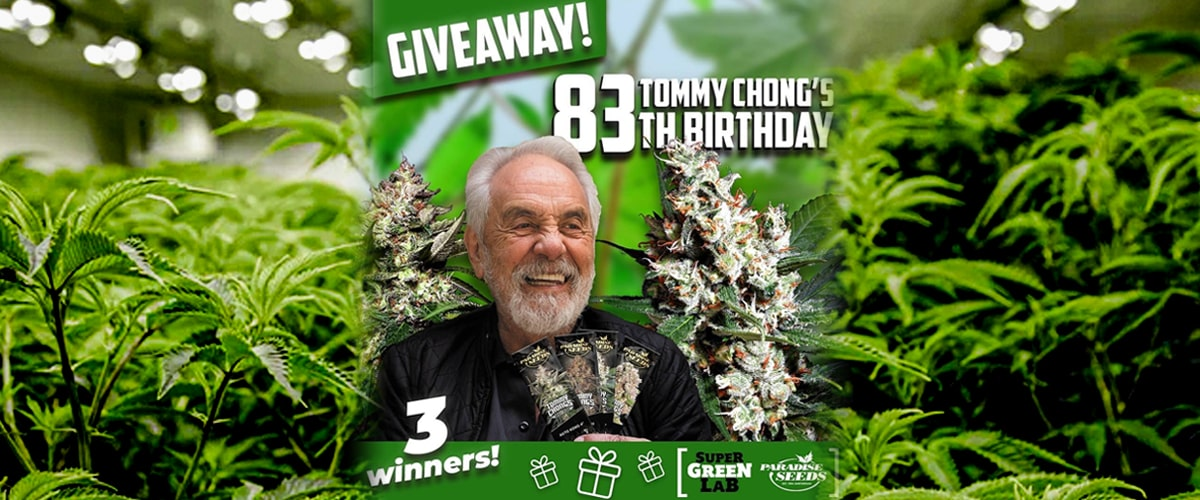 Win 10 Cannabis Seeds In Celebration Of Tommy Chongs Birthday