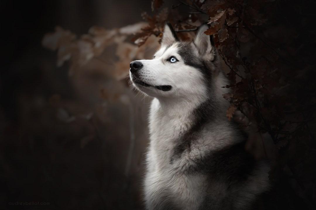 photographie canine portrait Nikon AF-S NIKKOR 70-200mm f/2.8G ED VR II
