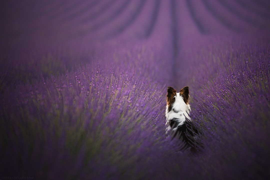 border collie tricolore dog lavender dog photogaphy