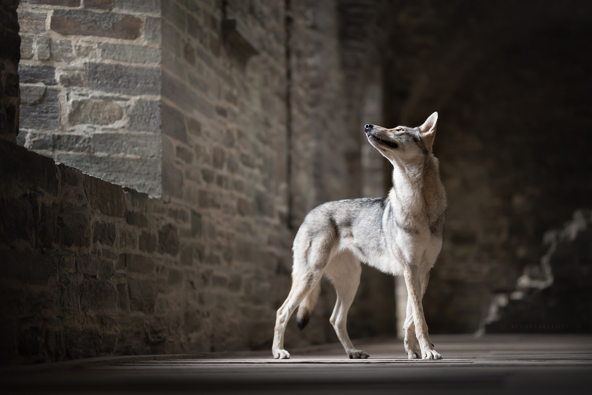 photographie canine photographe animalier artistique chiens chien loup de saarloos
