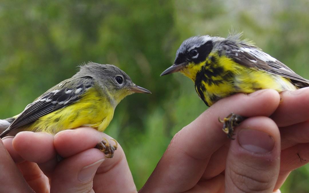 Experience Bird Banding at Audubon Saturdays May 8 and 15