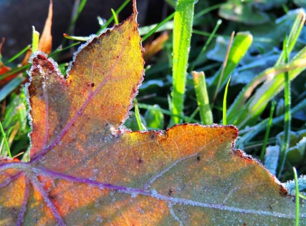 Frosty sweet gum leaf. Photo by Katie Finch.