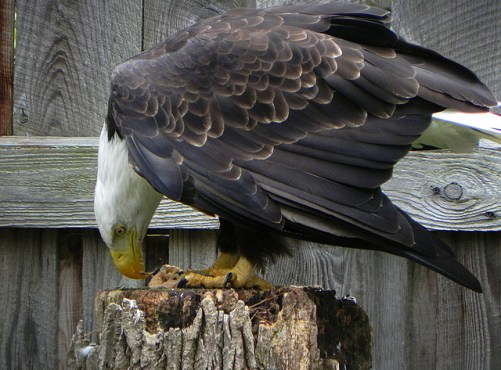 Liberty eating. Photo by Jeff Tome