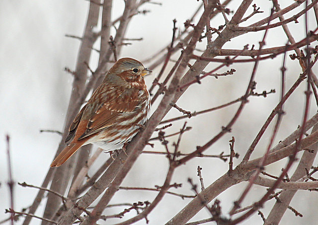Más aves se quedan al norte durante los meses de invierno - tribunedigital-chicagotribune