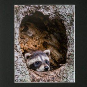 Raccoon Cub Photograph - Lee Stein