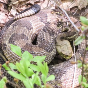 """Pennsylvania Rattlesnake """"Hunt"""""""