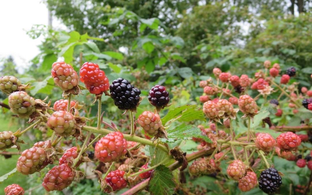 Blackberries by Crin Fredrickson