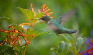 Firebush with hummingbird