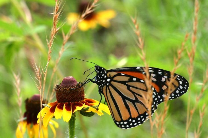 Monarch_Butterfly