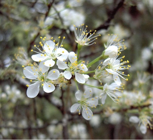 chickasaw plum blossoms