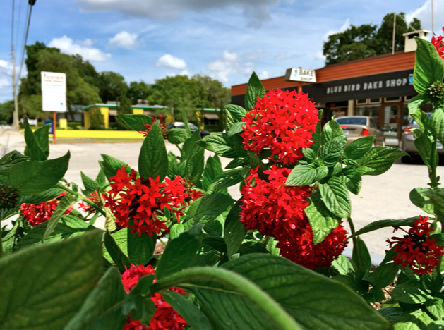 pentas in front of blue bird bake shop