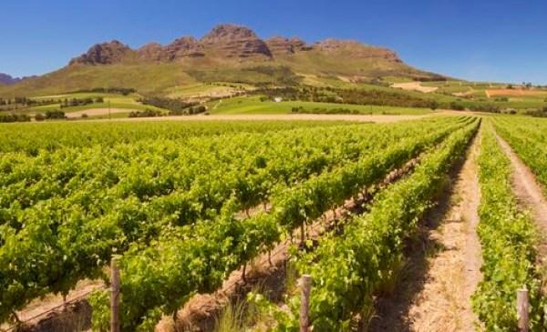Weinfelder Südafrika