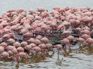 Viele Flamingos in Tansania