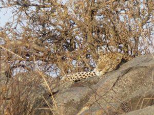 Tansania Urlaub - schlafender Löwe